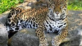 Jaguar Animal Photo#1