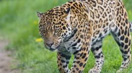 Jaguar Animal Photo#2