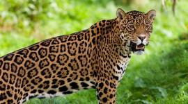 Jaguar Animal Photo#3