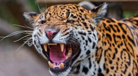 Jaguar Animal Wallpaper 1080p