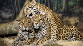 Jaguar Animal Wallpaper Download