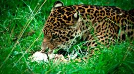 Jaguar Animal Wallpaper For Desktop