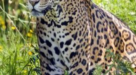 Jaguar Animal Wallpaper For IPhone