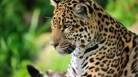 Jaguar Animal Wallpaper Free