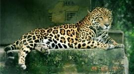 Jaguar Animal Wallpaper Full HD