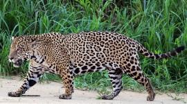 Jaguar Animal Wallpaper Gallery