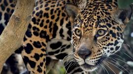 Jaguar Animal Wallpaper HQ