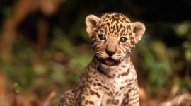 Jaguar Animal Wallpaper HQ#1