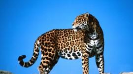 Jaguar Animal Wallpaper HQ#2