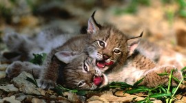 Lynx Photo Download