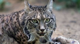 Lynx Photo Free