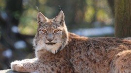 Lynx Wallpaper Download