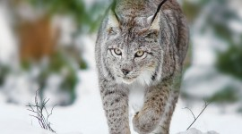 Lynx Wallpaper Download Free