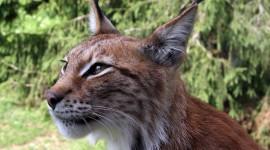 Lynx Wallpaper Free