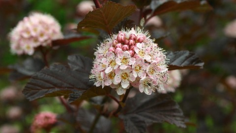 Physocarpus wallpapers high quality
