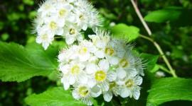 Physocarpus Photo Download