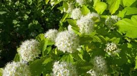 Physocarpus Photo Free