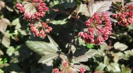 Physocarpus Wallpaper For IPhone Free