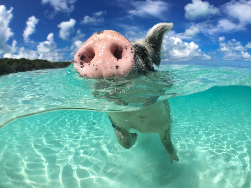 Pig Swim In Ocean wallpapers HD
