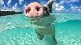 Pig Swim In Ocean Best WallpaperPig Swim In Ocean Best Wallpaper
