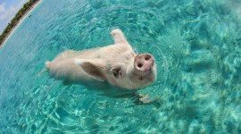 Pig Swim In Ocean Best Wallpaper#1