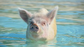 Pig Swim In Ocean Desktop Wallpaper HD
