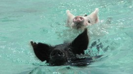 Pig Swim In Ocean Image