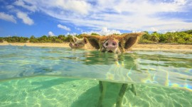 Pig Swim In Ocean Photo