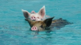 Pig Swim In Ocean Photo Download