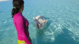 Pig Swim In Ocean Photo Download#2