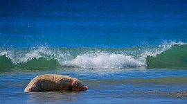 Pig Swim In Ocean Photo Download#3