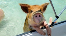 Pig Swim In Ocean Photo Free#1