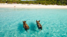 Pig Swim In Ocean Wallpaper For Desktop