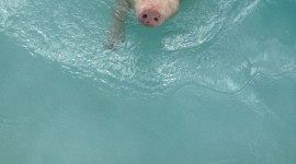 Pig Swim In Ocean Wallpaper For IPhone