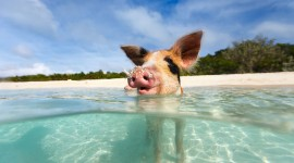 Pig Swim In Ocean Wallpaper For PC
