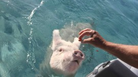 Pig Swim In Ocean Wallpaper Full HD#2