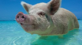 Pig Swim In Ocean Wallpaper Gallery