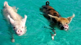 Pig Swim In Ocean Wallpaper#1
