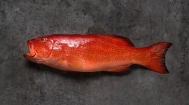 Red Grouper Desktop Wallpaper