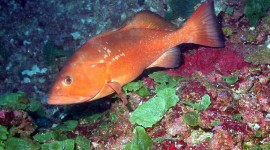 Red Grouper Wallpaper For PC