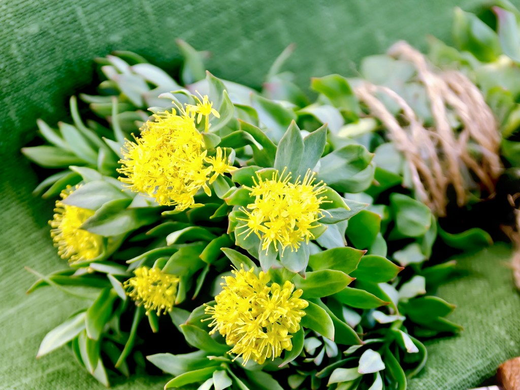 Rhodiola wallpapers HD