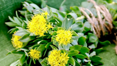 Rhodiola wallpapers high quality