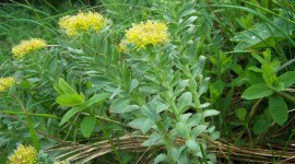 Rhodiola Wallpaper Download Free