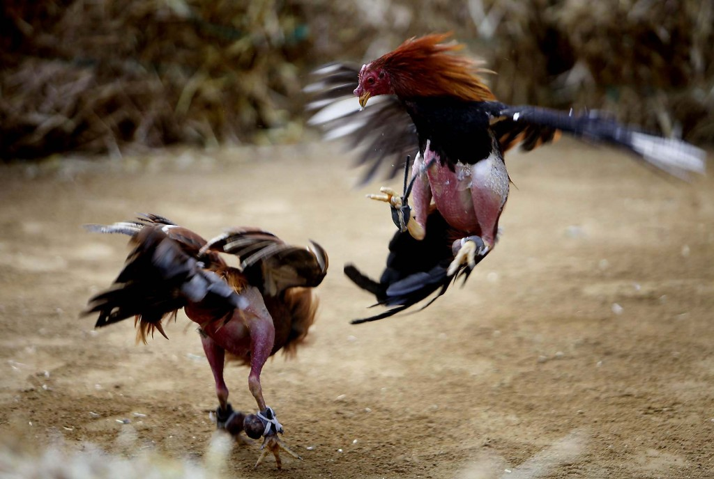 Rooster Fights wallpapers HD