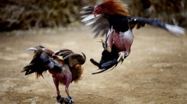 Rooster Fights Best Wallpaper