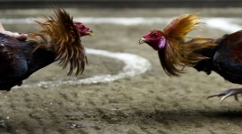 Rooster Fights Photo Download