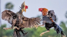 Rooster Fights Photo Free
