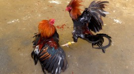 Rooster Fights Wallpaper Download