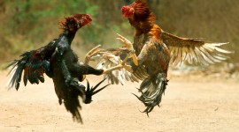 Rooster Fights Wallpaper Free