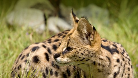 Serval wallpapers high quality